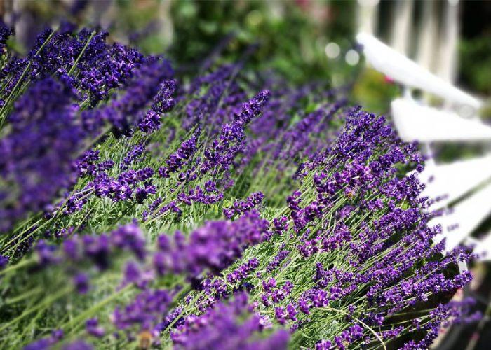 alpenrose-gardens-lavender